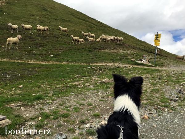 Schafe an der Glorerhütte