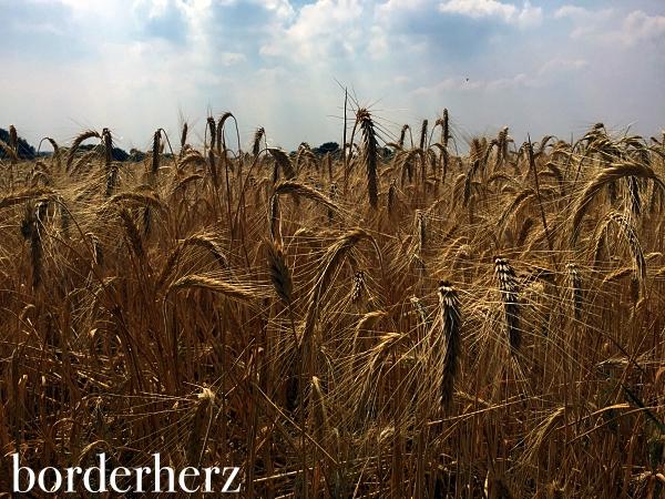 Leuchtende Kornfelder