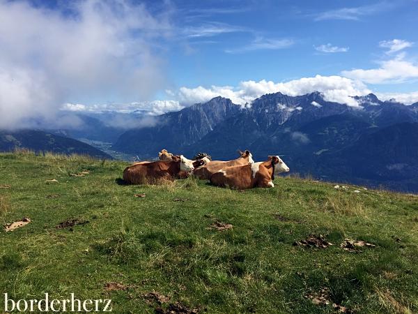Kühe Lienz