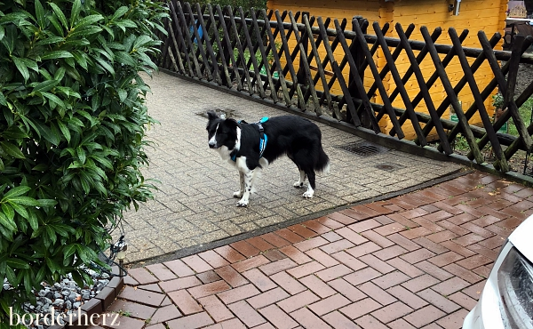 Canicross Border Collie