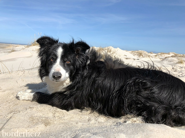 Border Collie Glen