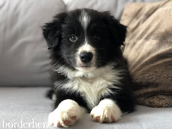 Border Collie Model